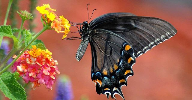 black swallowtail butterfly.
