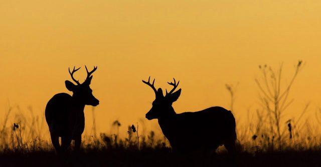 Two bucks standing in a field five feet apart.