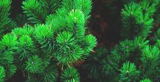 Close up of evergreen branches.