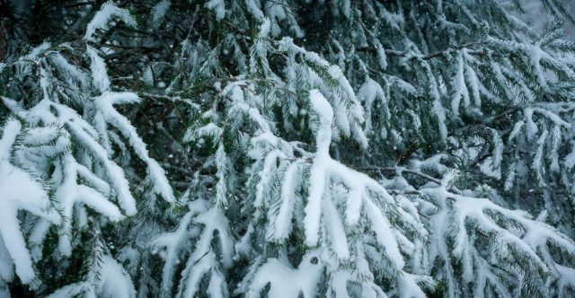 Evergreen tree with snow.