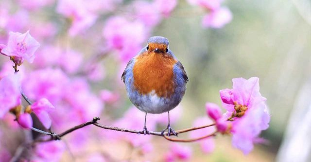 Robin sitting on a cherry branch.