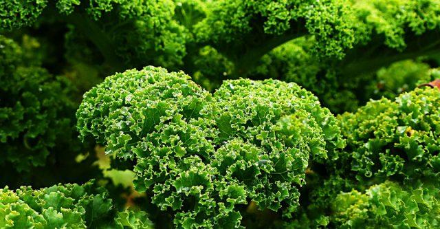 Kale growing outside.