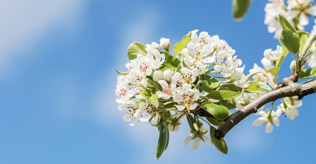 Pear tree blossoms.