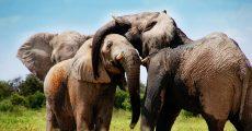 Two elephants.