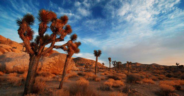 Joshua trees in California.