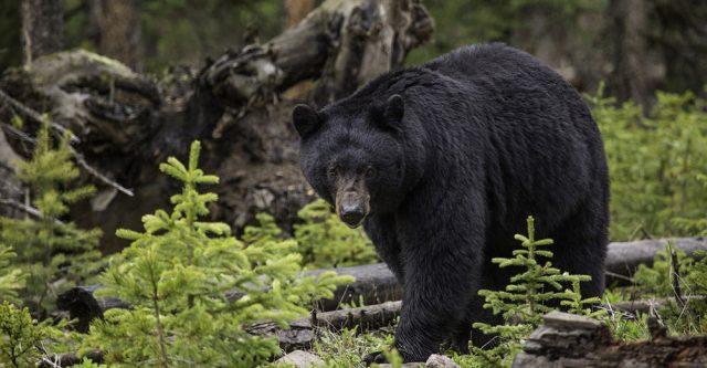 Great black bear walking through the woods.