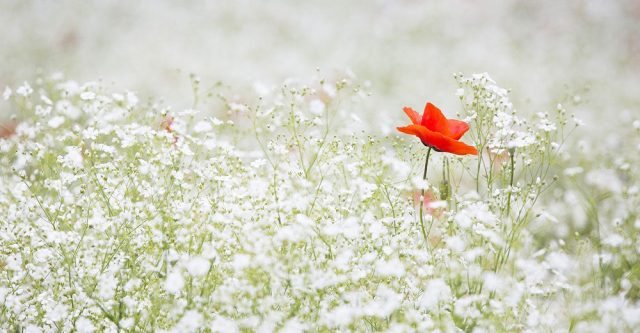 Field of white flowers.