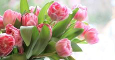 A bouquet of pink tulips.