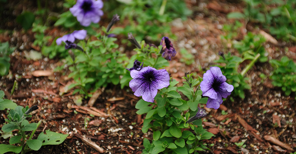 Purple petunias in OutBack Greenhouse.