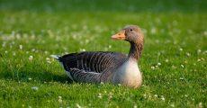 A duck in green grass.