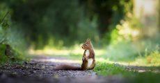 Fox squirrel an gravel path.