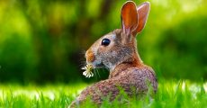 A rabbit in some green grass.