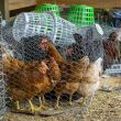 Chickens in cages.