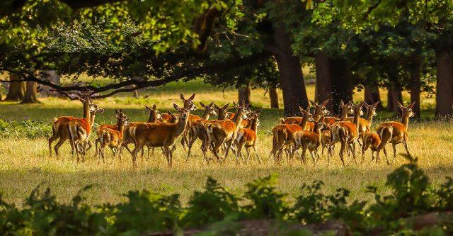 A herd of deer in field.