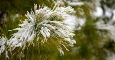 Snow on pine needles.