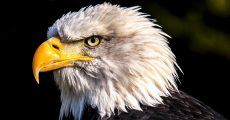 A Bald Eagle Looking Around.