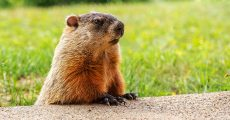 A groundhog looking around