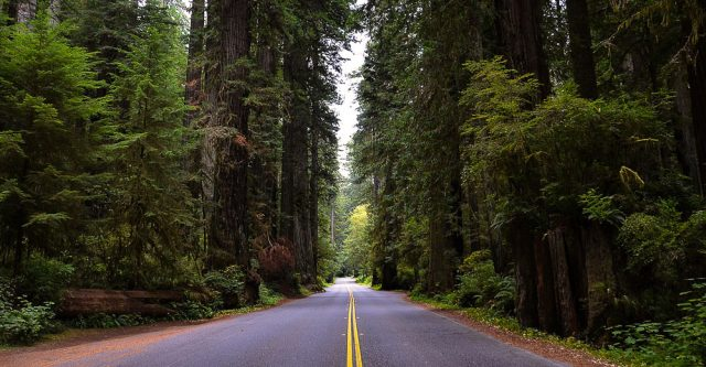 A lone road driving thru some Giant Sequoia trees.