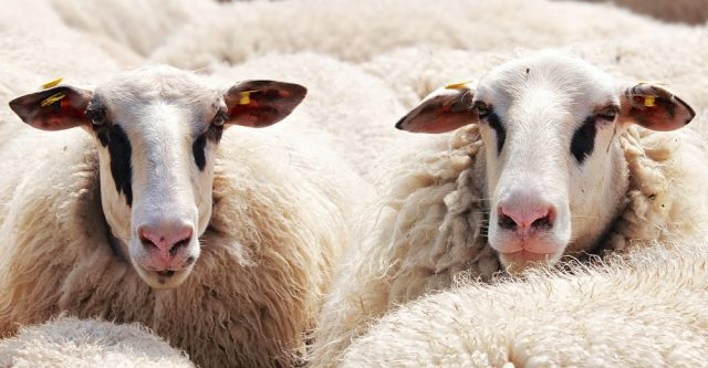 Two sheep looking out from a sea of wool.
