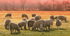 A flock of sheep grazing in pasture